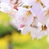 1年前、桜の頃のつぶやきの画像