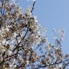 春と桜の画像