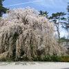 桜・さくら・サクラ・三昧の画像