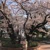 ことりと満開の桜の画像