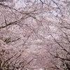桜の季節ですね(*^_^*)の画像