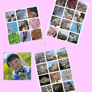 桜を集めましたの画像