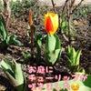 お庭にチューリップが咲きました体験からご入会、ありがとうございます(^^)の画像