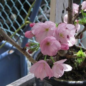 咲きました。の画像