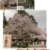 恒例の高麗神社桜&桜ネイルの画像