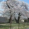 満開の桜✿の画像
