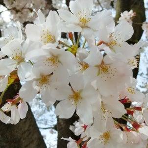 ★3月5週目★桜満開の画像
