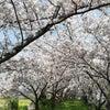 満開の桜と猫耳トマトの画像