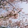 桜散る…の画像