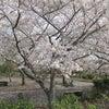 桜の花がひらり~踊ってる~♪の画像