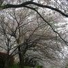 見納めの桜の画像