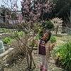 実は桜より大事な、桃の木の画像