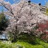 桜と桃と櫟の画像