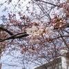 桜が恋しい、海外生活5年目の春。の画像