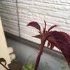 バラにアブラムシがつく頃の画像