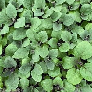 2021年 苗品種一覧 ホームページ更新しましたの画像