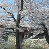 松本の桜 Ⅱの画像
