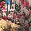 ことりと桃の花の画像