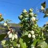 ブルーベリーの花芽の調整の画像