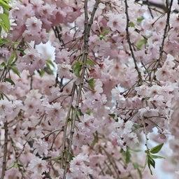 画像 【京都】只今春の特別拝観中‼️大本山妙顕寺塔頭「善行寺」でいただいたステキな【限定御朱印】 の記事より 13つ目