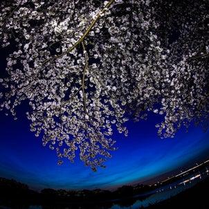 中川の桜の画像