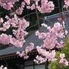 今年出会った桜たちの画像