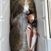 カレイ釣り釣果の画像