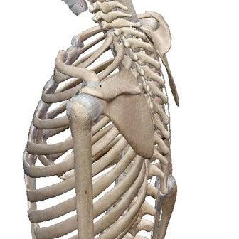 肩甲骨と肩関節 イメージ出来ますか