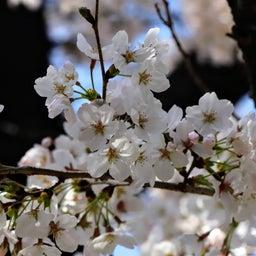 画像 【京都】桜の穴場スポット‼️桜寺「墨染寺」でいただいたステキな【限定御朱印】 の記事より 14つ目