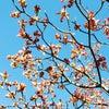 青空と花水木 そして 心とコザクラインコの画像