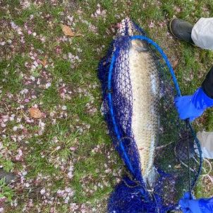 大川の鯉さんの画像