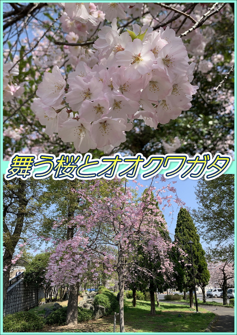 桜とオオクワガタ☆8周年記念!東京都足立区綾瀬の足つぼ&タイ古式&アロマオイルマッサージ☆05