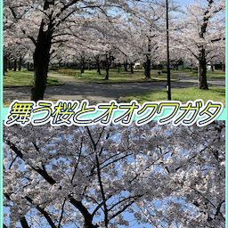桜とオオクワガタ☆8周年記念!東京都足立区綾瀬の足つぼ&タイ古式&アロマオイルマッサージ☆10