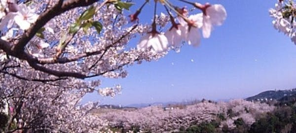 田辺市の桜のスポットをまとめてご紹介