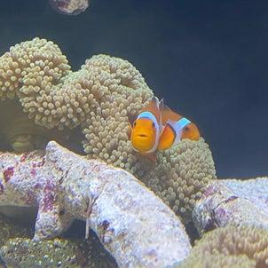 海水魚・サンゴ入荷!の画像