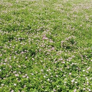 レンゲ畑(*'ω'*)の画像