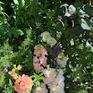 本日も2本目 /    花壇に埋もれたシラー &  植えっぱなしのラナンキュラス (゚∀゚)
