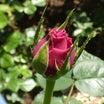 昨年5月2日に初開花したバラ@遅い今年の初蕾ザフェアリー、バフビューティ、オリジナルの玲奈