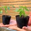 トマトの苗の鉢増しと定植のタイミング