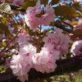 荒川大橋と八重桜✿