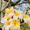 プルメリアの花が美しい季節になりました。レムリアでも花は・・・の画像