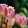 春のお花と寝不足な週末の画像
