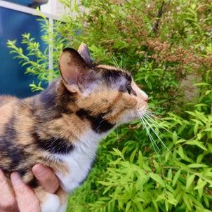 庭のマーガレット *花色が変わります♪庭の花々♪  庭のクスノキに、花が咲いて♪三毛猫ミミ♪の画像