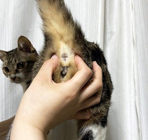 絞り 猫 こう もん せん 猫の肛門絞りって何?猫のお尻が臭いときに効果的