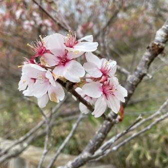 高遠城址公園(長野県伊那市)さくらまつりは11日終了しました~札幌市時計台札幌市民は無料