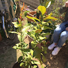 友人のレモンの木と大根の収穫の画像