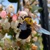 蜂にブルーベリーの受粉作業をしてもらっていますの画像