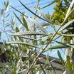 オリーブの脇芽の花芽判定出揃う?