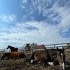 馬たちゴロゴロ日和。牧場犬バニーのお出迎え?の画像
