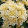 木香薔薇の画像